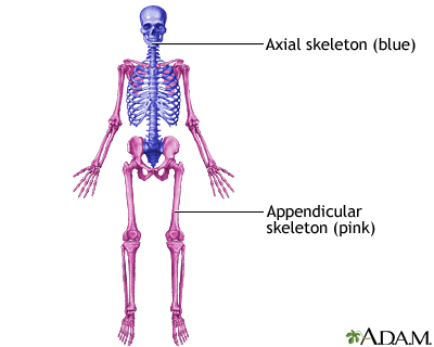axial skeleton function