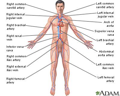 Cardiovascular System Information
